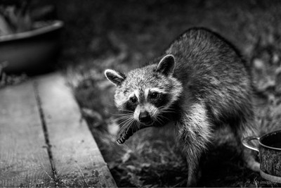 Night Bandit