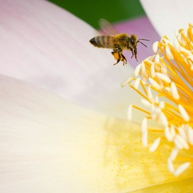 As a beekeeper I was thrilled to see one my honeybees visiting the lotus pond, with her pollen basket loaded.