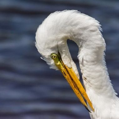 While sitting at the refuge this Egret landed by the canal and began grooming himself.  Later as I watched he caught and ate an eel.