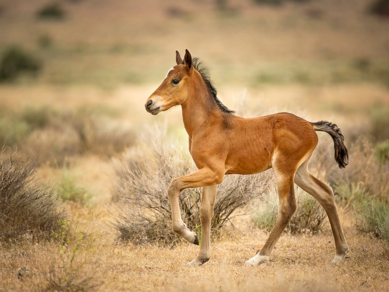 From the Pine Nut wild horse herd, Pine Nut Mountains, Nevada