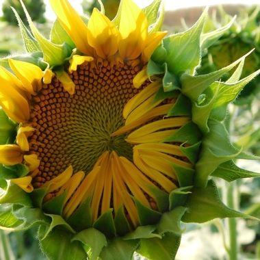 Sunflower Half Open
