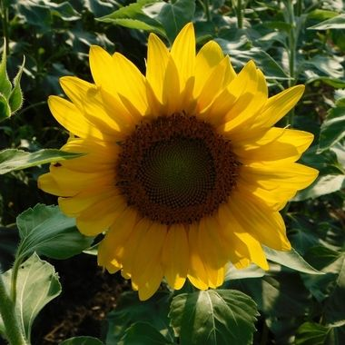 Sunflower Open