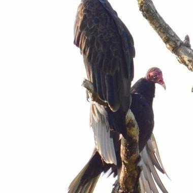 Sunning Turkey Vultures