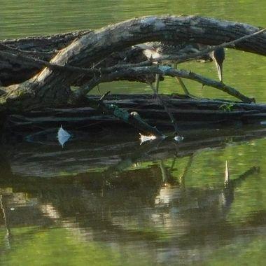 Green Heron Admiring Himself