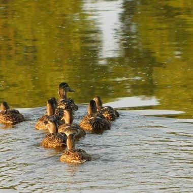Ducks in V Formation
