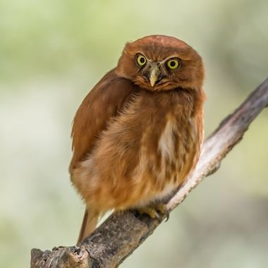 Also called Least Pygmy-Owl, or Sick's Pygmy-Owl
