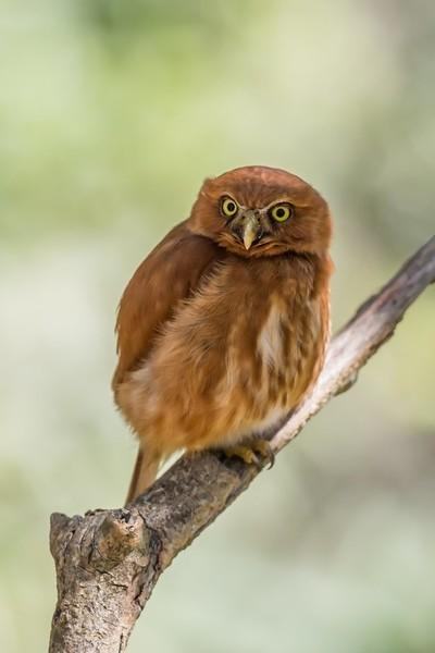 East Brazilian Pygmy Owl-8665
