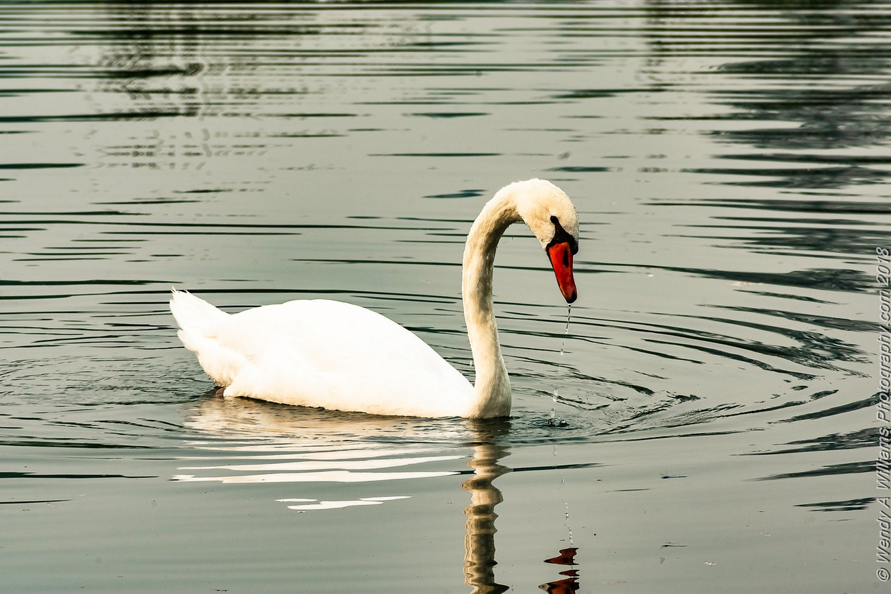 This Swan had my full attention