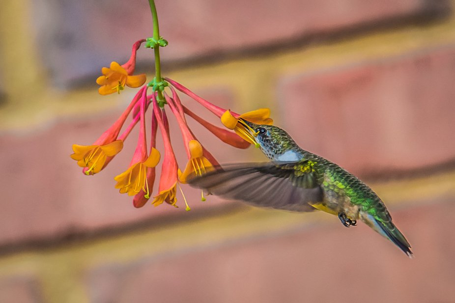 This guy kept coming around to me trumpet vine on a regular basis.  So, I set up my tripod, my re...