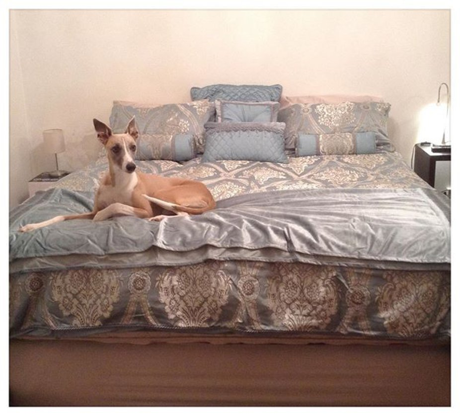 Oscar likes the new bedding fit for a King or whippet, they do appreciate luxury.  #whippet #whip...