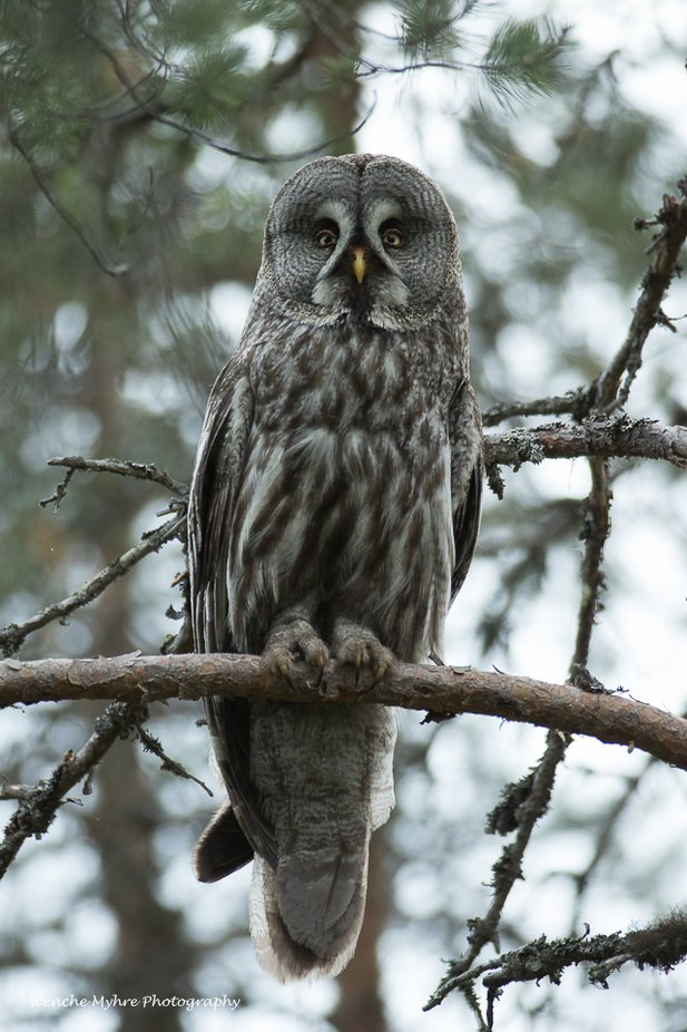 Great Grey Owl by wenchemyhre - Beautiful Owls Photo Contest