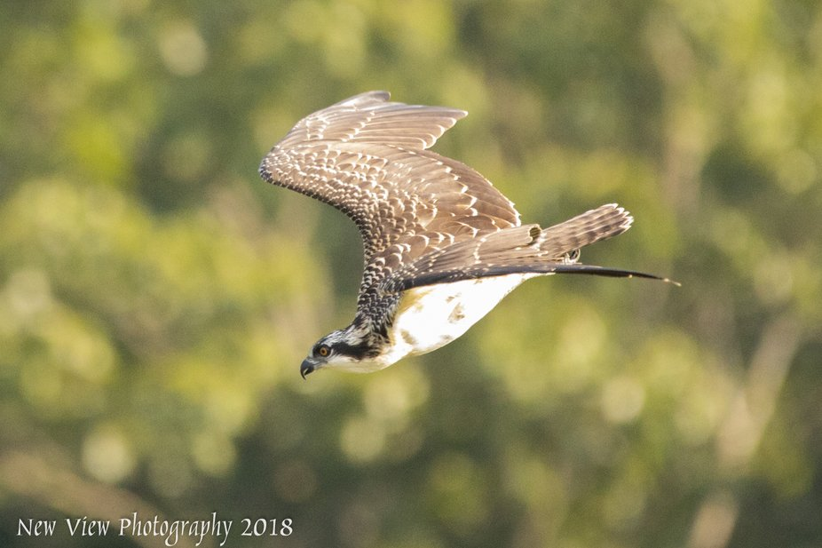 A young Osprey headed for home.