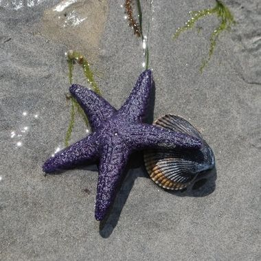 Purple Starfish on Clam Shell - Parksville Beach 2014