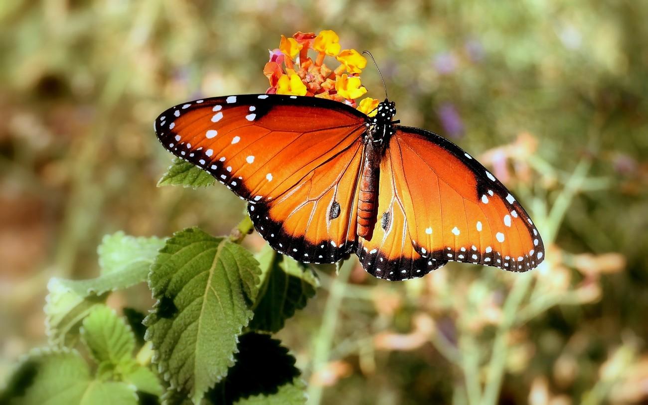 Butterfly on Flower Macro Mesa, AZ