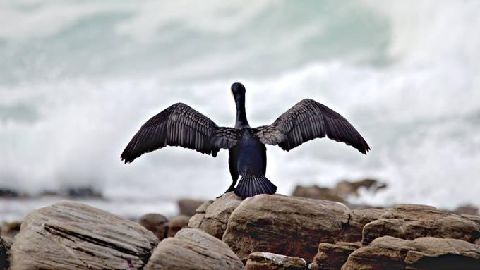 Cormorant Drying it's Wings