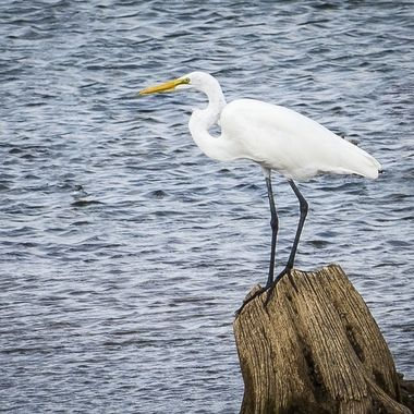 A Snowy Egret perched on a tree stump looking for lunch near Lake Travis, Texas.