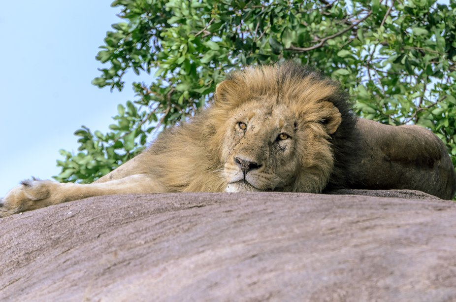 We were driving around a large Kopje and discovered this beautiful male Lion resting on a large b...