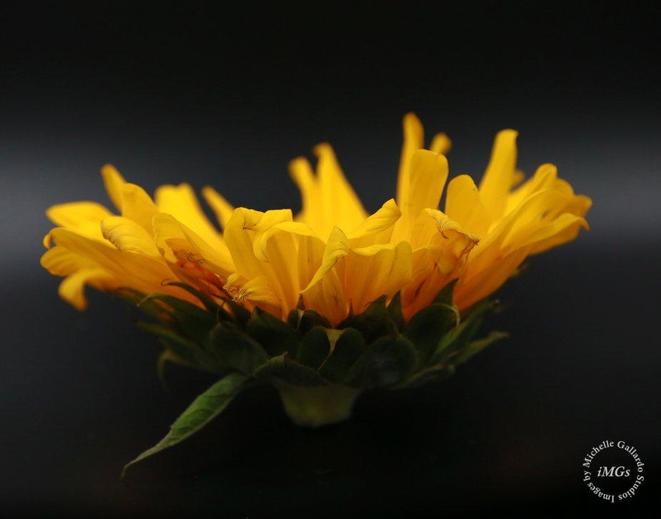 Standing sunflower_logo
