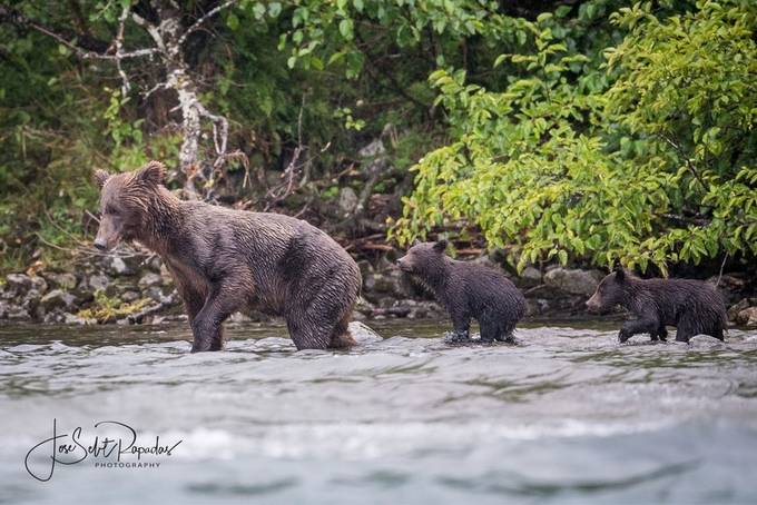 Brown Bears by Selit - Bears Photo Contest