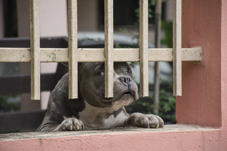 An american bully near my girlfriend's place, he always calls me when I walk pass his ho...