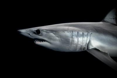 A legendary shark