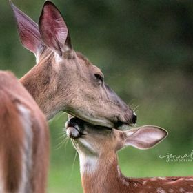 A tender moment shared between a momma doe and one of her sweet fawns.