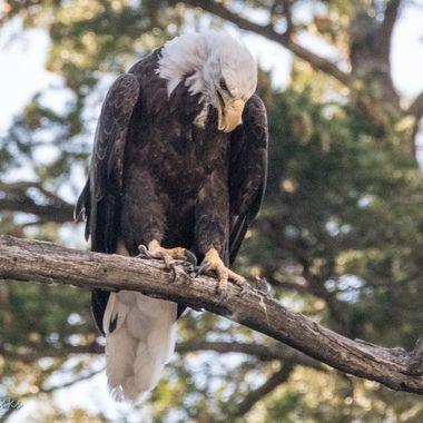 0P6A0444 Bald Eagle
