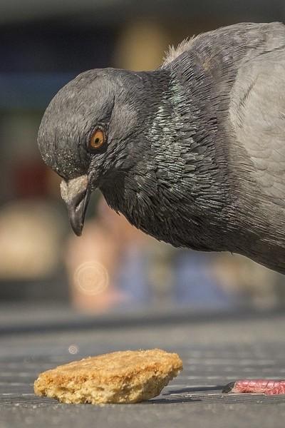 pigeon versus biscuit