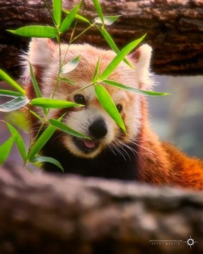 Peek-A-Boo Panda!