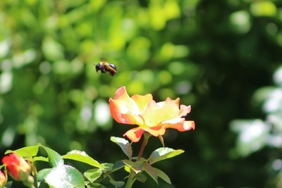 Bee Flying from Peach Petal Rose