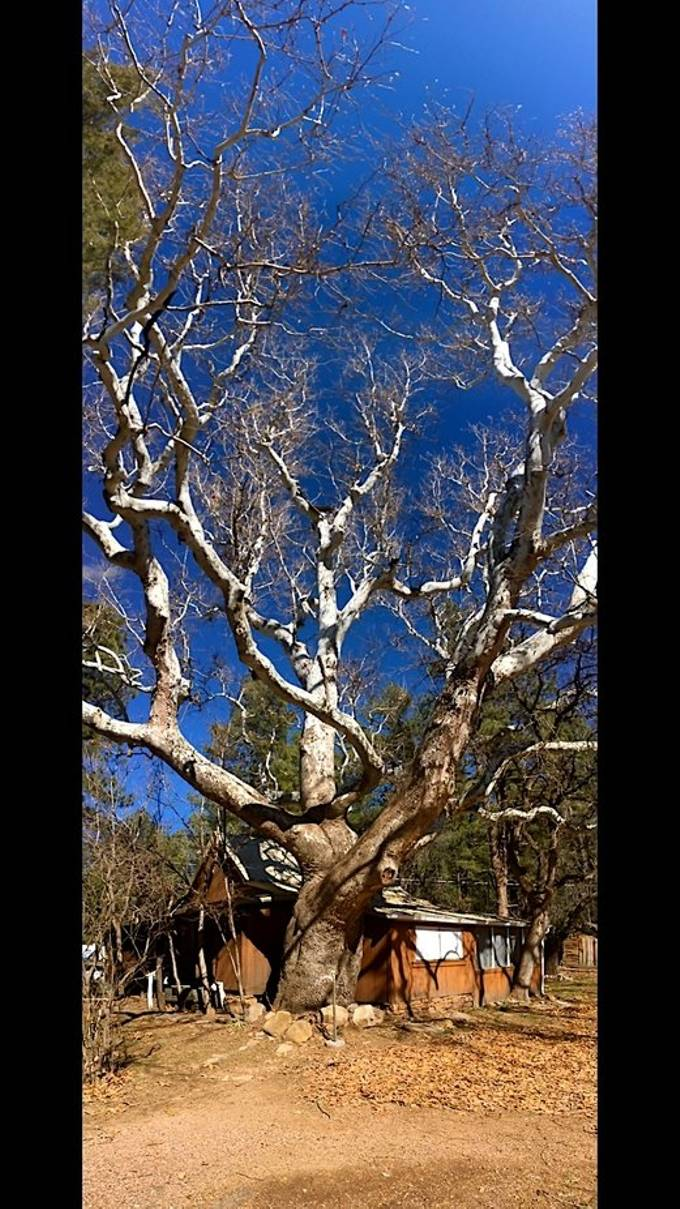 I love this tree.  This sycamore is 150 years old and its lower limbs are the size of cars.  if this is what it looks like above the ground what does its root system look like to keep it upright.
