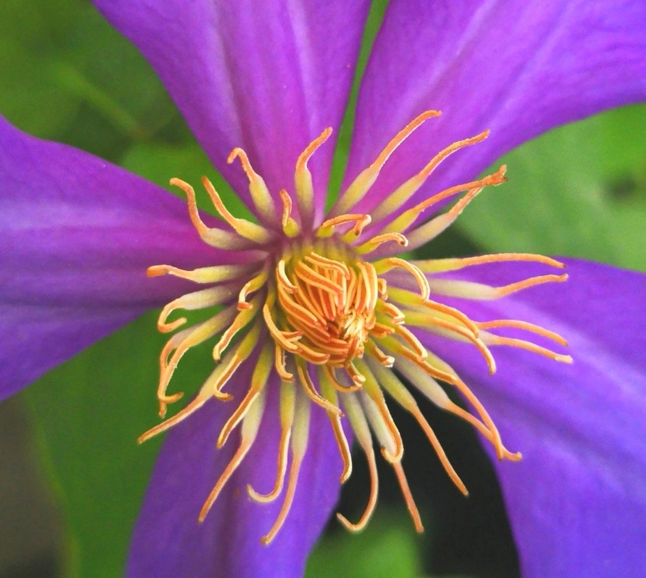 A close up of a purple Clematis flower.