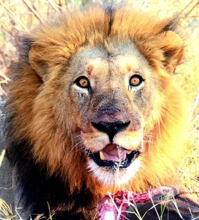 Lion, Moremi, Botswana