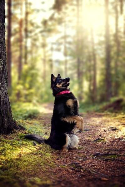 Cali the chodsky pes