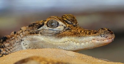 Spectacled Caiman (or in other words a crocodile). Notice how happy he looks? They always look happy after they eat!