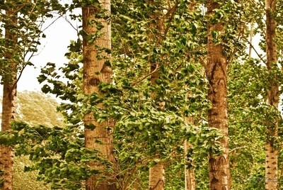Moya - Spirit of the Trees