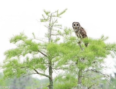Barred Owl_ Florida Swamp