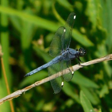 DSBlue Dragonfly