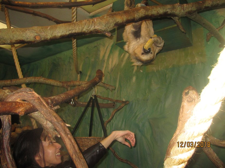 A memorable moment from my dream coming true to experience feeding a Linnies two toed sloth