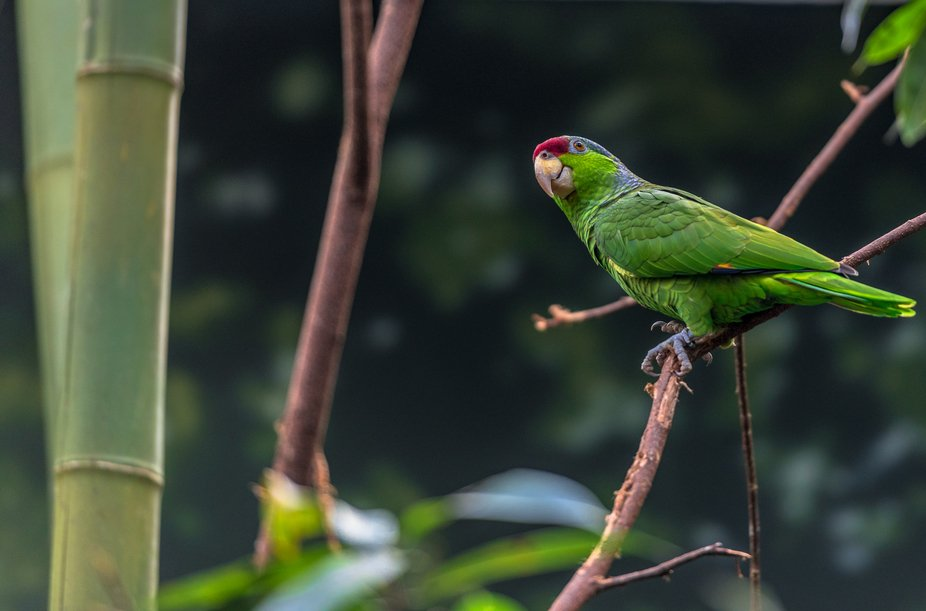 Blue Crested Parrot on a Branch