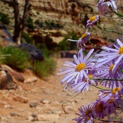 Desert blooms. I love a splash of color in the stark background of a red dirt trail. Utah is stunning in all its various landscapes. ❤️ me some hike time. #love #hiking #RoamThePlanet #adventure  #discoverylandscape #global_hotshotz #getoutside  #inspired
