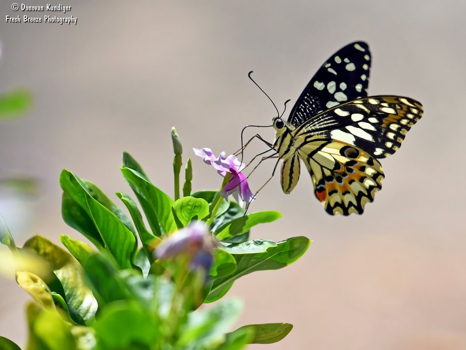 Beautiful Lime Butterfly sipping nectar.