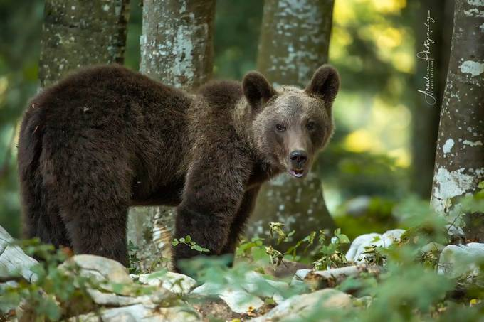 slowenienbears by Anneliese-Photography - Bears Photo Contest