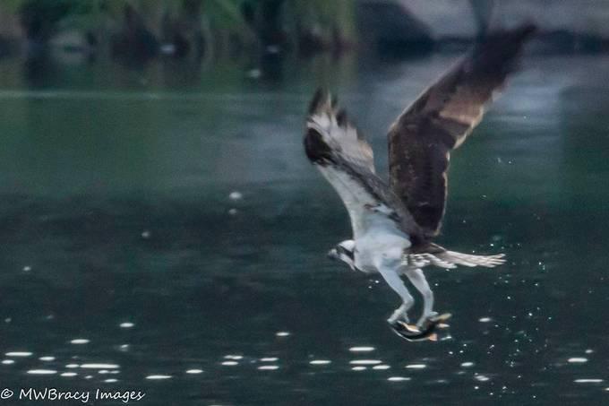 Osprey takeout