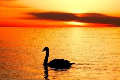 Swan at Sunrise
