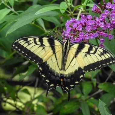 Tiger Swallowtail Butterfly, Darnestown, MD, DSCN0117