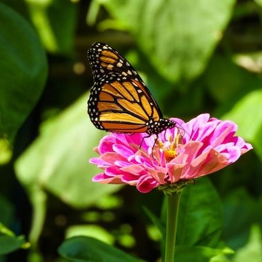 Monarch Butterfly, Darnestown, MD, DSCN0043