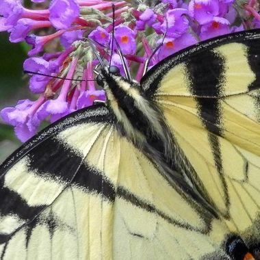 Tiger Swallowtail butterfly, Darnestown, MD,DSCN0116-2