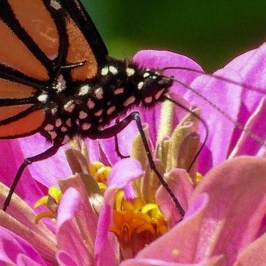 Monarch Butterfly, Darnestown, MD, SCN0044