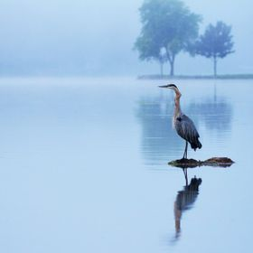 A Great Blue Heron perched peacefully in the middle of the lake in the early morning fog.